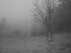 Infrared trail cam photo of a curious deer in the morning mist
